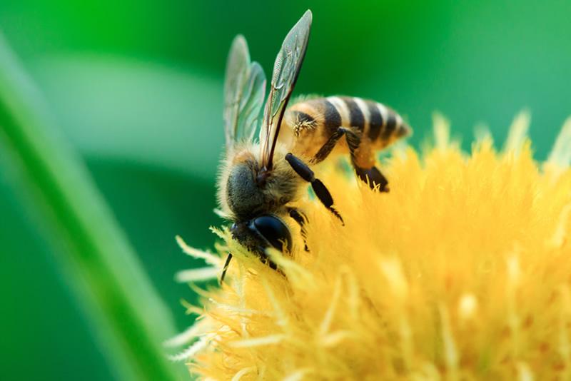 Biene in gelber Blume, Sylla Bees